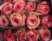 Rosen-sumer Blume f?r Hintergrund lizenzfreies stockfoto