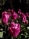 Rosen-Tulpen in einem Park in Istanbul am Anfang des Frühlinges, schließen herauf Schuss Die nähste Blume ist scharf, während stockfotografie