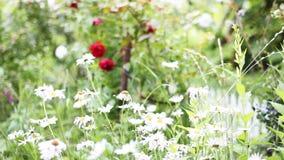 Rosen und Gänseblümchen stock video