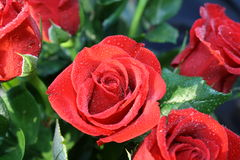 Rosen und grünes Laub mit Tautropfen Stockfotografie