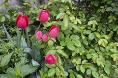 Rosen und Tulpen Stockfoto