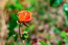 Rosen växer på en buske royaltyfria bilder