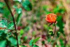 Rosen växer på en buske arkivfoto