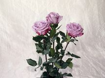 Rosen von Grauem, lila, Variations stockbild