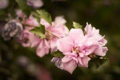 Rosen von Sharon Busch (Hibiscus syriacus), rosa Blumen lizenzfreie stockfotos
