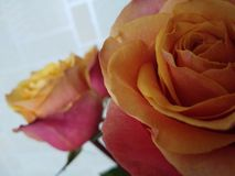 Rosen zu Hause lizenzfreie stockbilder