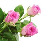 Rosenahaufnahme mit drei Rosa Stockfotos