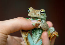 Rosenberg's Tree Frog Royalty Free Stock Photo