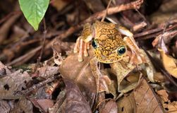 Rosenberg`s treefrog, or Gladiator treefrog Hypsiboas rosenbergi. On the forest floor at night. Osa Peninsula, Costa Rica royalty free stock photography