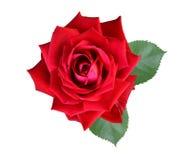 Rosenblumen Lizenzfreie Stockbilder