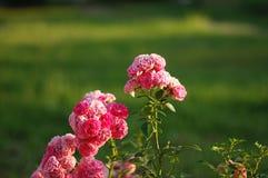 Rosenbusch auf einem grünen Hintergrund Lizenzfreie Stockfotografie