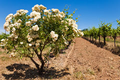 Rosenbusch an einem Kalifornien-Weinberg Stockbild