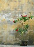 Rosenbusch im Topf gegen alte verwitterte gelbe Wand Stockfotos