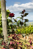 Rosenbusch nahe bei den Reben in Toskana Stockbild