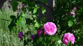 Rosenbusch und Buschrebe nahaufnahme stock video