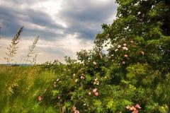Rosenbusch und Wolken Lizenzfreies Stockfoto