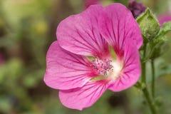 Roseneibisch Woodbridge met mooie roze bloem royalty-vrije stock afbeelding