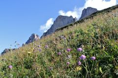The Rosengarten Group, Dolomites. Field of flowers from the bottom of the Rosengarten Group, Dolomites Royalty Free Stock Photos