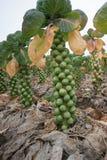 Rosenkohl auf dem Stiel, bereitet für die Ernte vor stockbilder