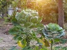 Rosenkohl auf langen Beinen im Garten, Nahaufnahme, Sonne lizenzfreies stockbild