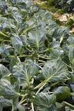 Rosenkohl, der auf Stiel im Garten wächst Stockfotografie