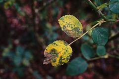 Rosenpflanzenkrankheit Lizenzfreie Stockfotos
