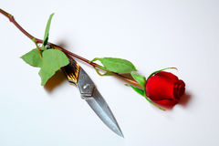 Rosenrot. Single rose laying on white background and long bladed knife showing up from under one of leaves, like a big metal thorn Stock Images