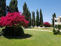 Rosenträ stolthet av ön av Cypern, mjukheten av naturen arkivbilder