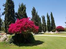 Rosentr? stolthet av ?n av Cypern, mjukheten av naturen royaltyfri foto