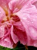 Rosenwasser stockbild
