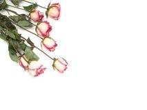 Rosepostkarte Lizenzfreies Stockbild