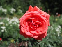 Roseraie Image stock