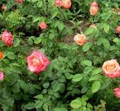 Roseraie Photos libres de droits