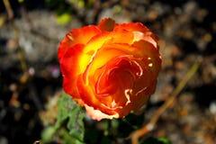 Roseraie Photographie stock libre de droits