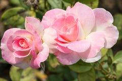 Roseraie Photographie stock