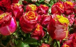 Roseraie avec beaucoup de roses roses - blanc Photographie stock