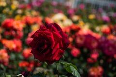 Roseraie avec de belles roses fraîches Image libre de droits