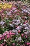 Roseraie avec de belles roses fraîches Photo stock