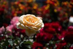 Roseraie avec de belles roses fraîches Images libres de droits