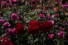 Roseraie avec de belles roses fraîches Photo libre de droits