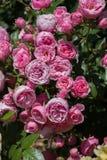 Roseraie avec de belles roses fraîches Images stock