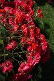 Roseraie avec de belles roses fraîches Image stock