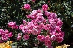 Roseraie avec de belles roses fraîches Photos stock