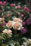Roseraie avec de belles roses fraîches Photographie stock libre de droits