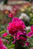 Roseraie avec de belles roses fraîches Photographie stock