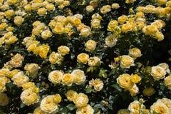 Roseraie avec de belles roses fraîches Photos libres de droits