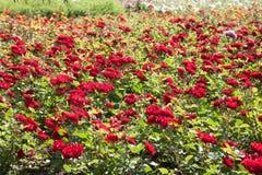 Roseraie avec un bon nombre de roses rouges Photographie stock libre de droits