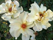 Roseraie blanche Photos libres de droits