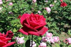 Roseraie de fleur Photos stock