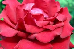 Roseraie de fleur de Baike Photographie stock libre de droits